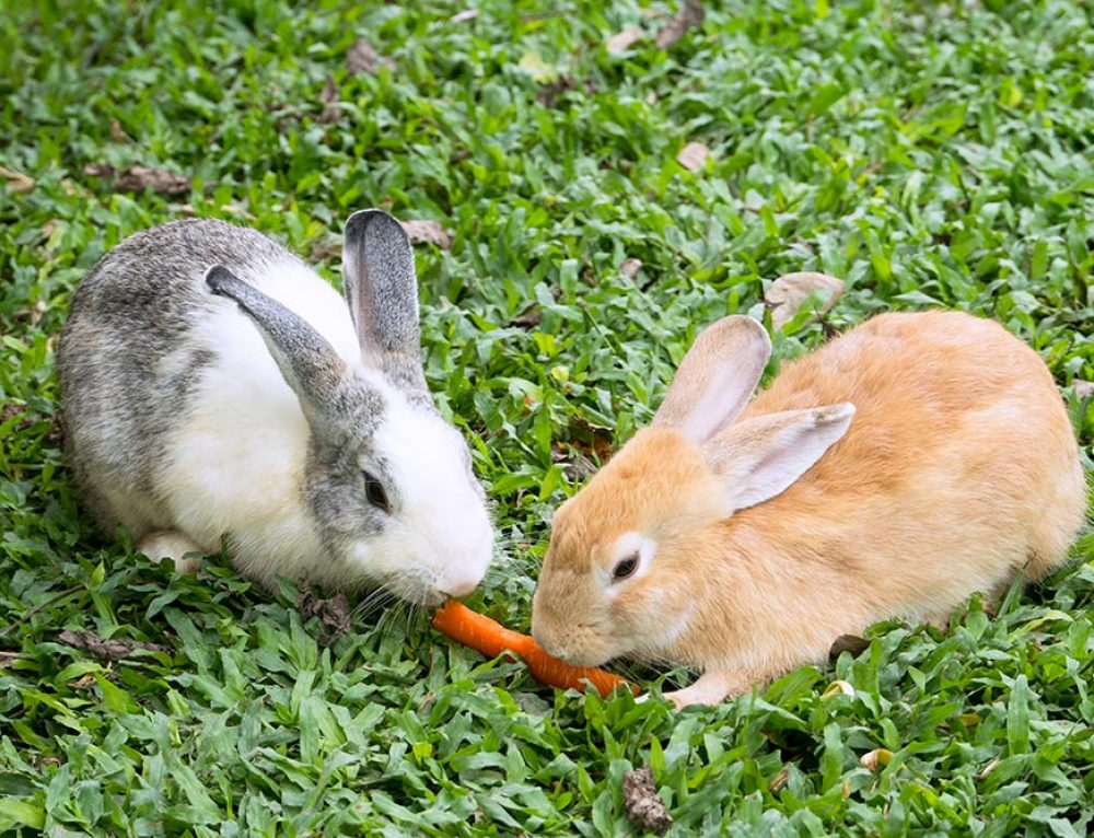 Alimentazione del coniglio: l'Importanza del fieno e delle verdure